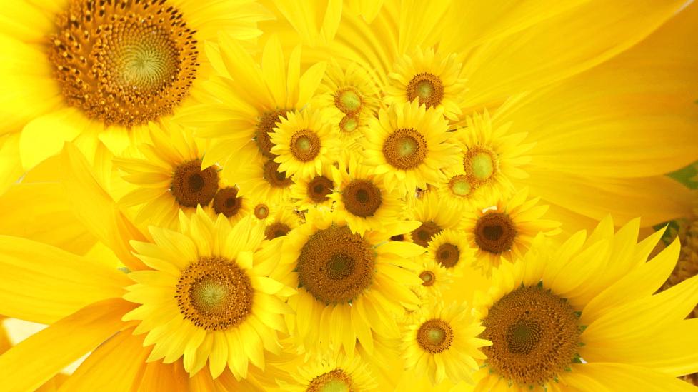 floarea soarelui natural miere
