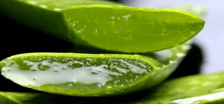 alore vera planta