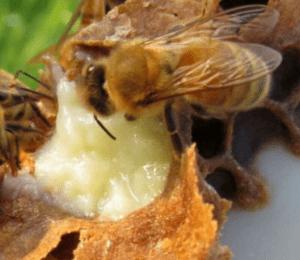 Albina si laptisor de matca